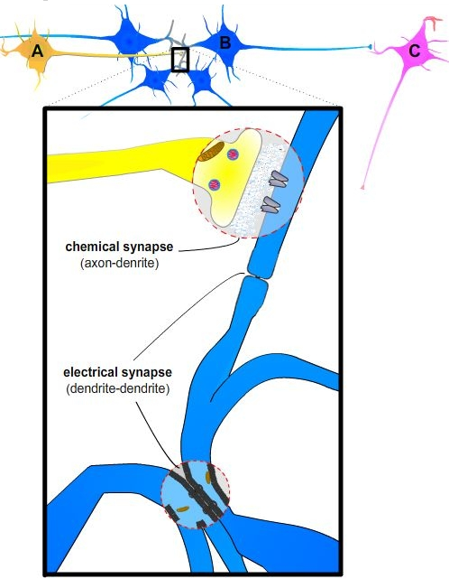 Neurons Synapses Action Potentials And Neurotransmission The